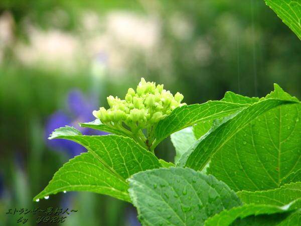 0983紫陽花と雨20110612