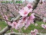 桃の花、アップ