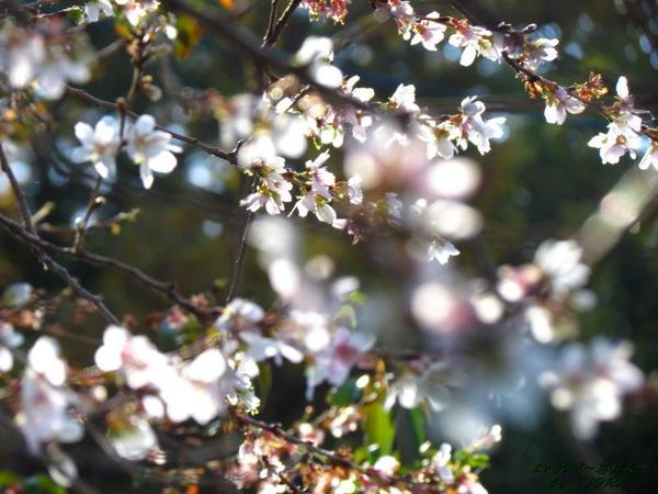 6217四季桜141122
