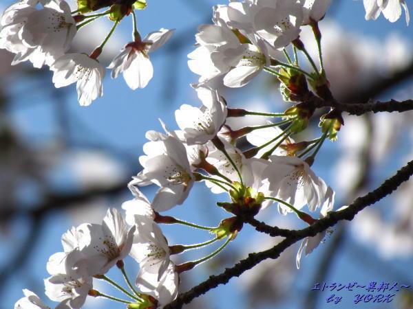2239桜咲く120414