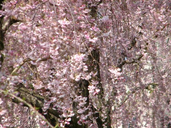 0342満開の枝垂れ桜110420