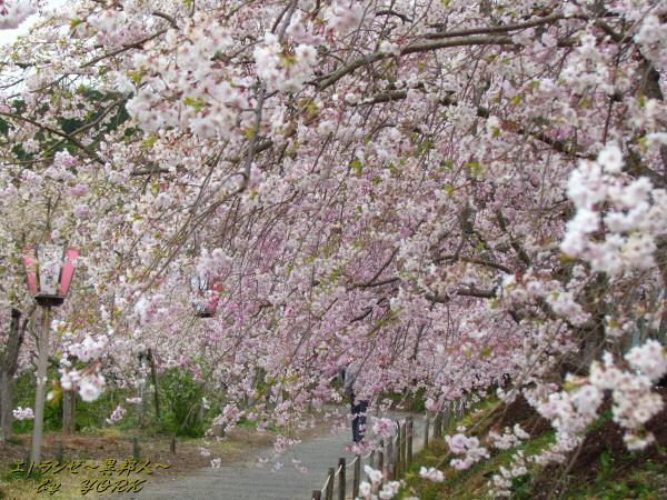 0909桜並木140413