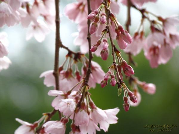 2507曹源寺の枝垂れ桜170326