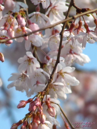 5801枝垂れ桜180325
