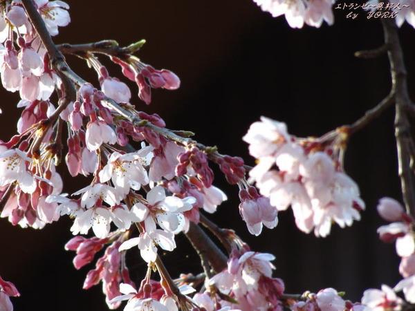 5792枝垂れ桜180325