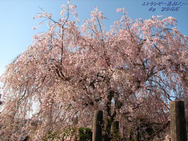 0379津山枝垂れ桜110420