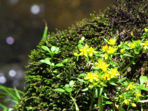 4371黄色い花と丸ぼけ170528