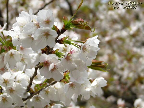 0308鶴山公園の白い桜110420