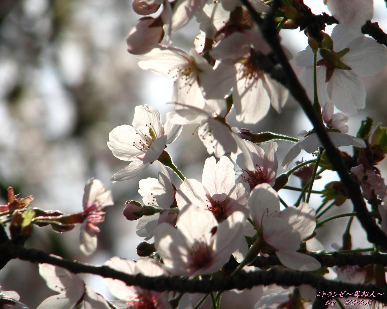 壁紙 0273桜光に透けて1280×1024