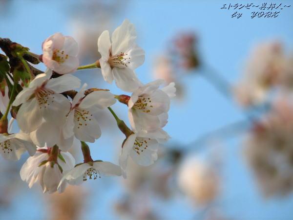 0037桜青空に110403