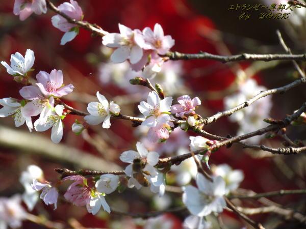 5414四季桜121125