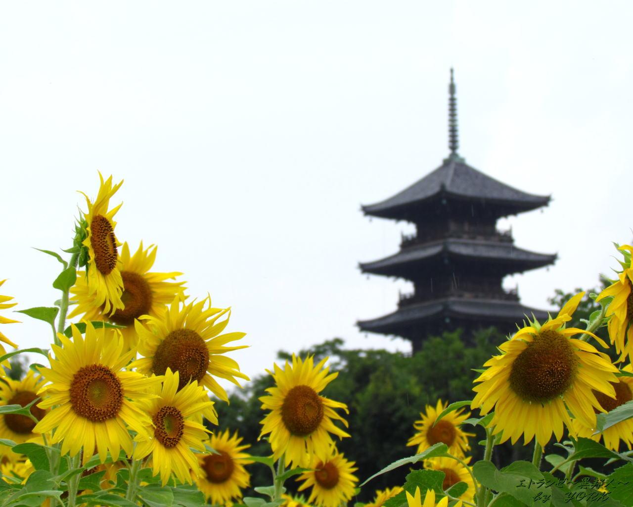 壁紙 向日葵と五重塔 エトランゼ 異邦人