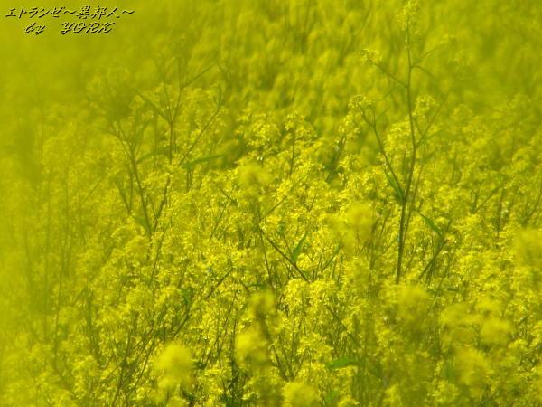6791一面菜の花130413