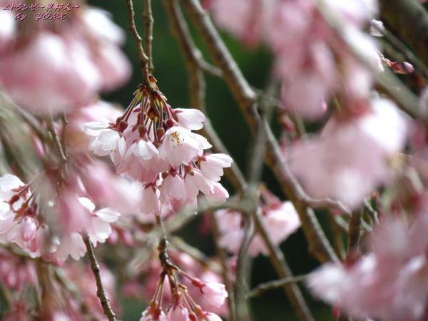 2477枝垂れ桜一分咲き170326