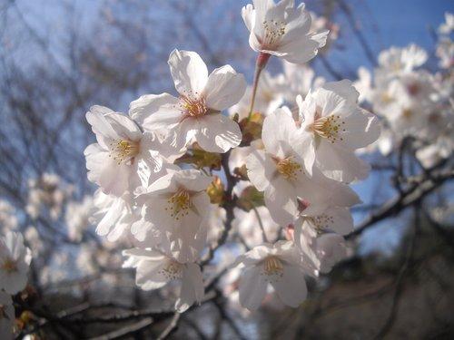 2009洗濯船お花見(新宿御苑)3(桜の花)