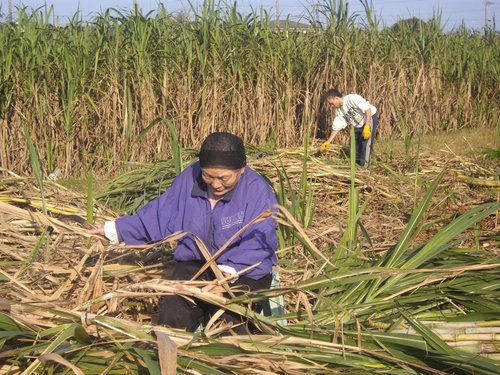 サトウキビの収穫2(お母さん、輝雄)