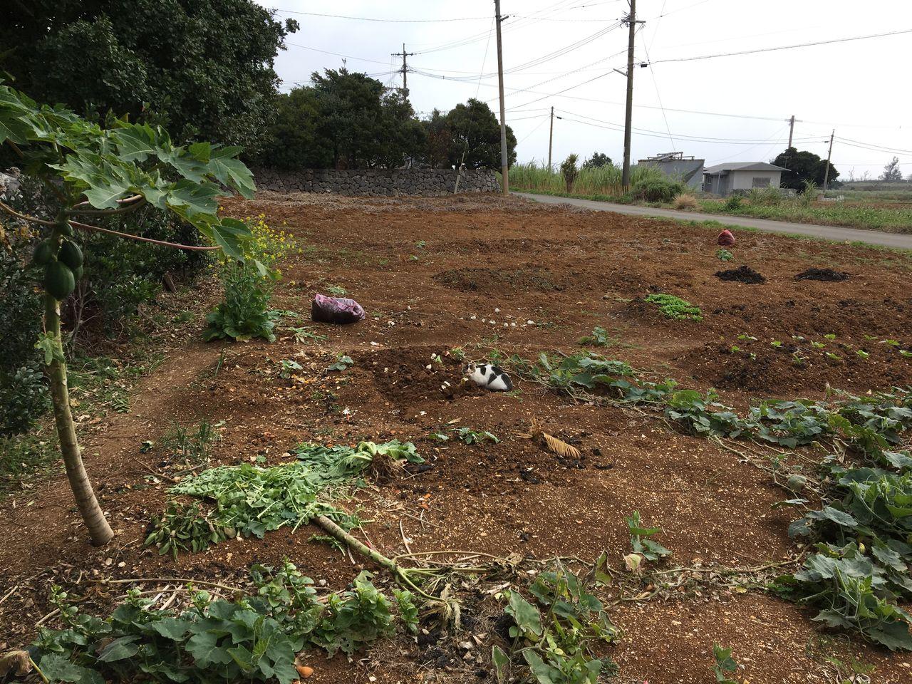 実家の畑と猫