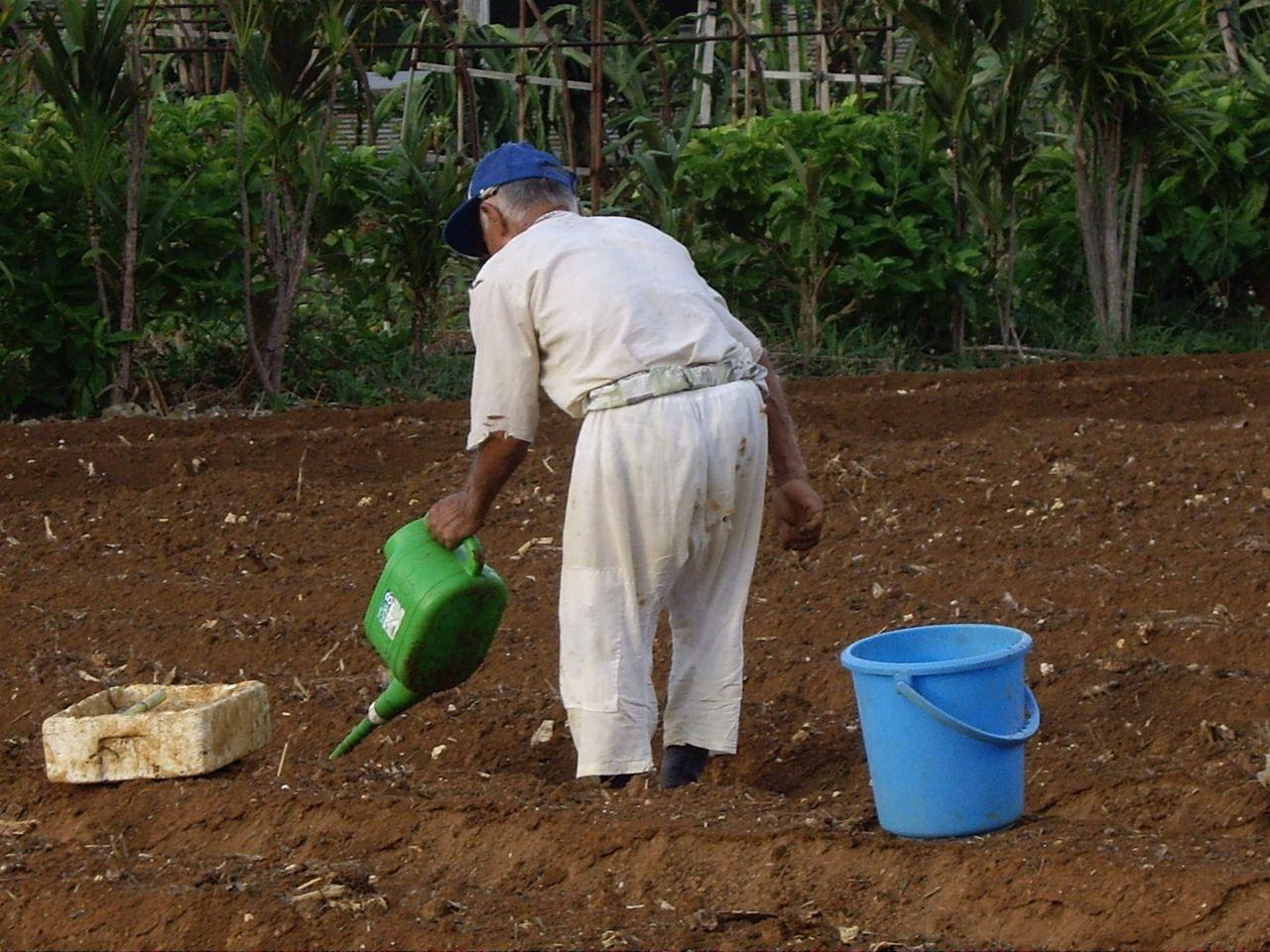 サトウキビの苗を植える父
