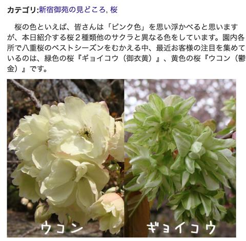 新宿御苑前の桜、御衣黄_ヨルスペ2016