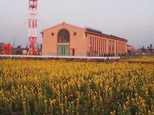 「フローラルガーデンよさみ」の菜の花の画像
