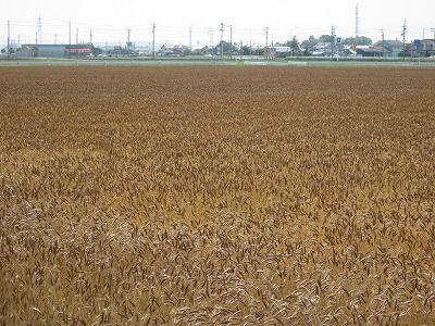 6月10日(金)「黄金色の麦」6kmコースに出かけます。の画像