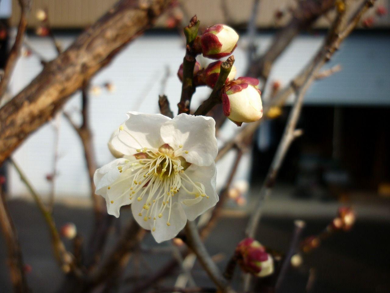 我が家の庭・初白梅の画像