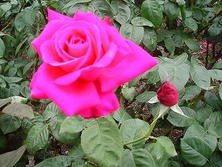 「新緑とバラの香りにさそわれて」わくわくウオーキングの画像