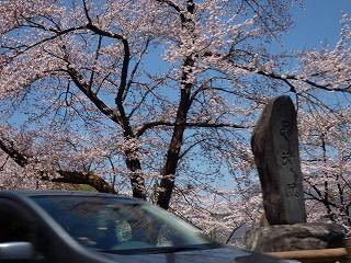 桜の白川郷の画像