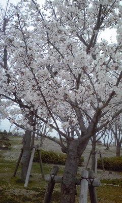 3月29日(金)am9:00「桜の花をさがして」の画像