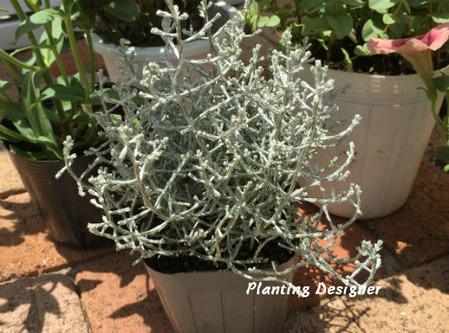 プラティーナ(クッションブッシュ、カロケファルス)・寄せ植え