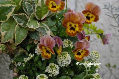 オレンジ色のビオラ2(寄せ植え)