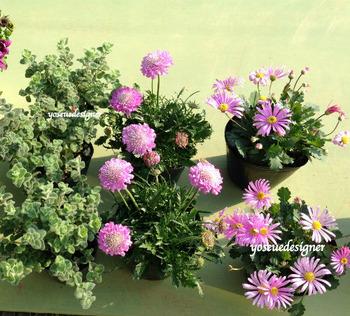 オステオスペルマムHBの花材
