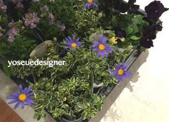 花材:斑入りブルーデージー
