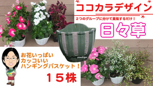ココカラデザイン★日々草のハンギングバスケット