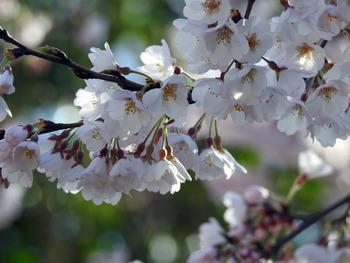 sakura-edohigan-4