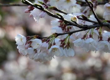 sakura-edohigan-3