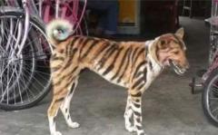 犬なのかトラなのか 無理やりトラにさせられた犬が大活躍するインド