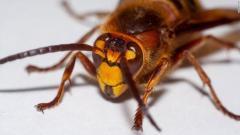外来種オオスズメバチが米国上陸、ワシントン州警戒強める