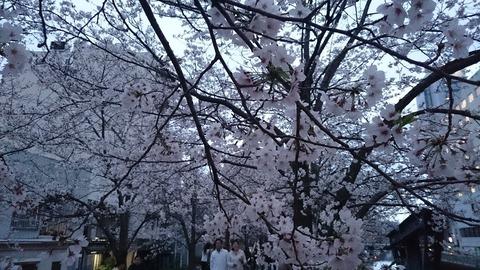 2016花見 (6)