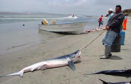 保護活動に転換を迫られるサメ漁