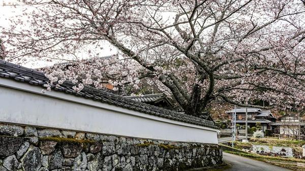 延福寺 桜