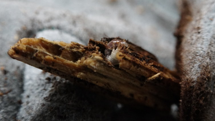リノケロスフタマタクワガタ 幼虫