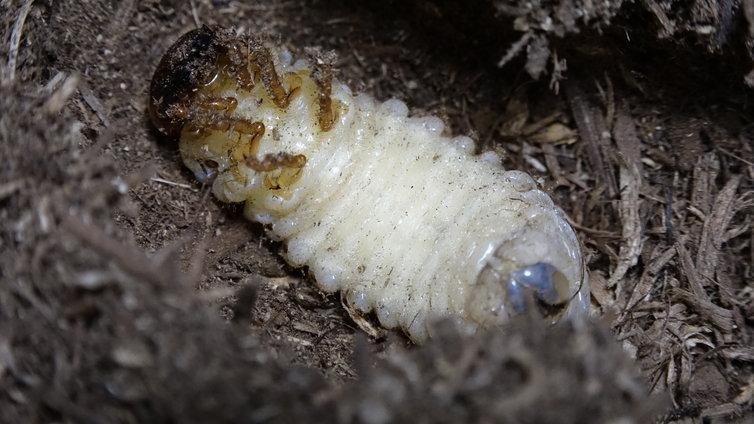 スマトラオオヒラタ 前蛹