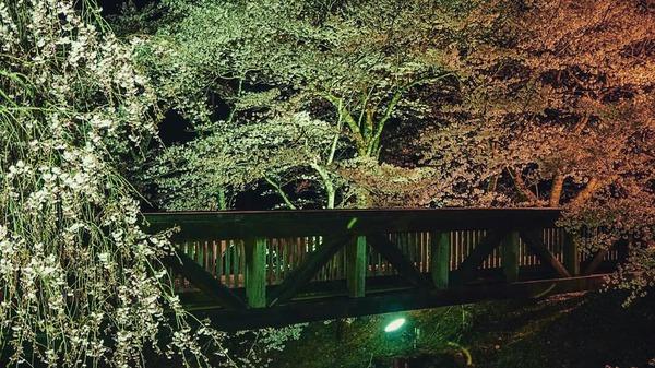 和らぎの道 夜桜ライトアップ