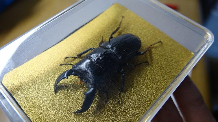 クワガタ 標本