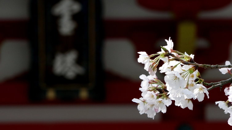 知恩院 桜