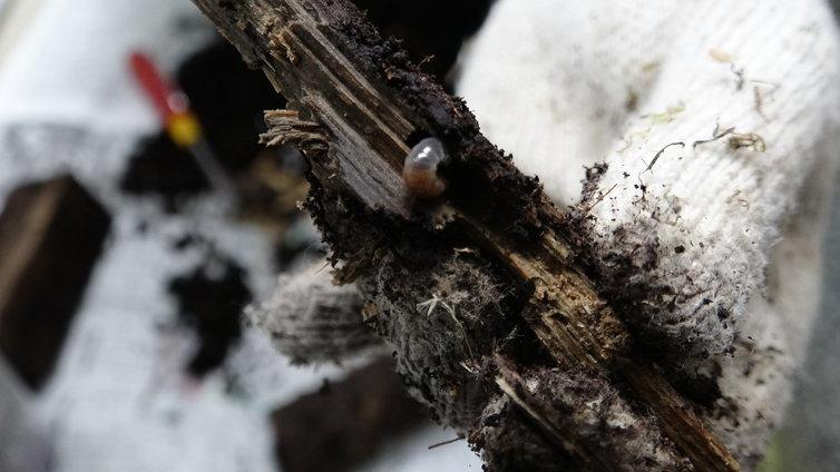 スマトラオオヒラタ 幼虫