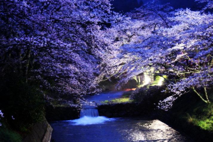 夜桜 京都