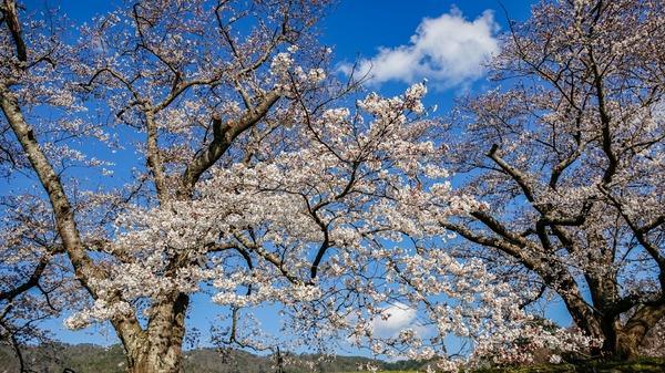 亀岡 水鳥のみち 桜