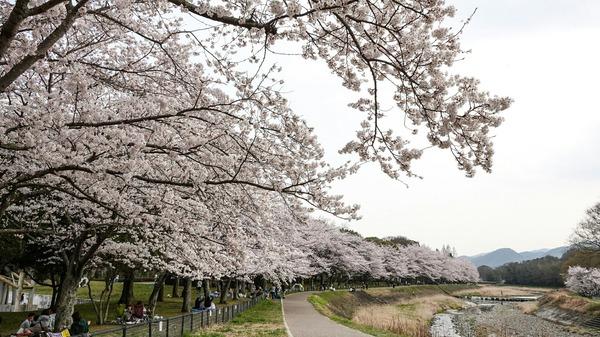 亀岡運動公園桜